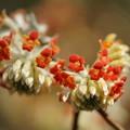 赤花ミツマタ