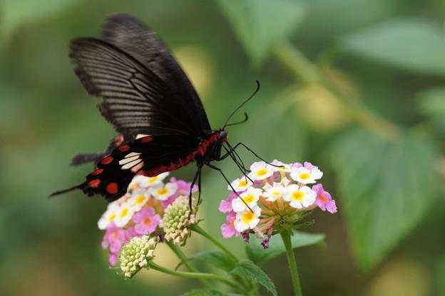 ベニモンアゲハチョウ
