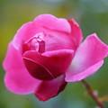 写真: 秋薔薇