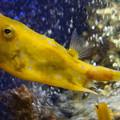 写真: 黄色い河豚