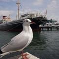 写真: ユリカモメと氷川丸