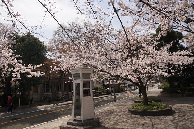 桜と電話ボックス