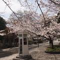 写真: 桜と電話ボックス