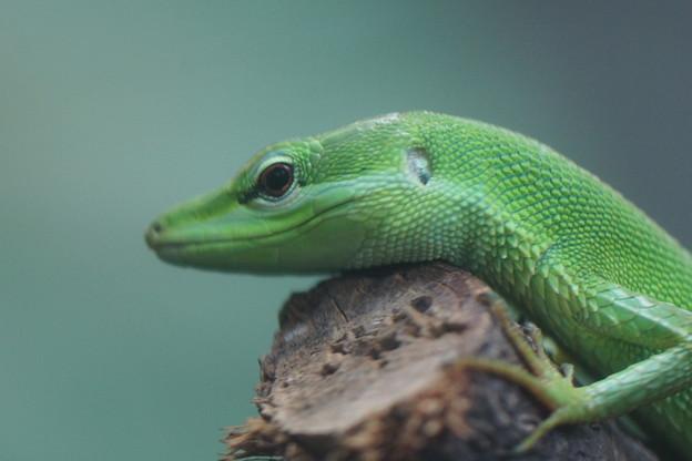 サキシマカナヘビ