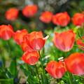 Photos: 赤いチューリップ