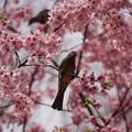 写真: 桜とヒヨドリ
