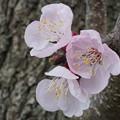 写真: 杏子の花