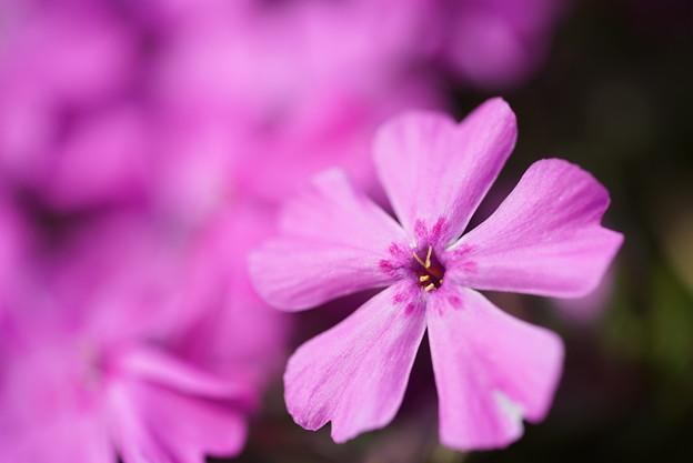 ピンクの芝桜