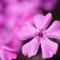 写真: ピンクの芝桜