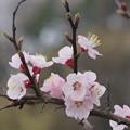 写真: 杏の花