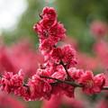 写真: 赤いハナモモ