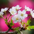 Photos: 静桜