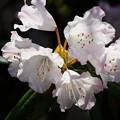 Photos: 白い石楠花