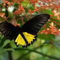 Photos: 南国の蝶