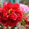 写真: 赤い牡丹