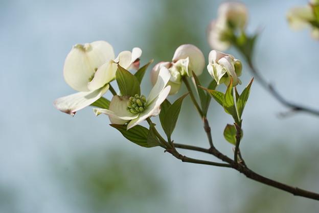 白い花水木