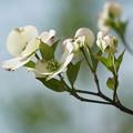 写真: 白い花水木