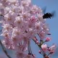 写真: 桜と蜂