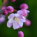 写真: 花海棠