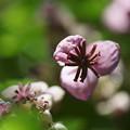 写真: アケビの花