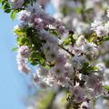 写真: 富士桜