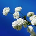 写真: シジミ花