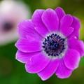写真: ピンクのアネモネ