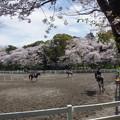 写真: 馬術練習場の春