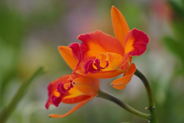 Photos: ランの花