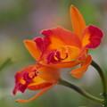 写真: ランの花