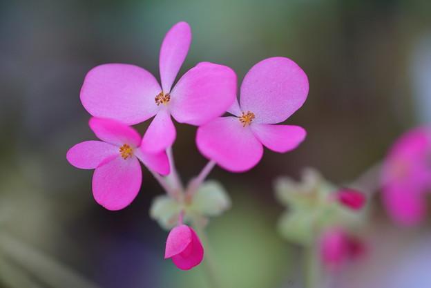 写真: ピンクアフリカンバイオレット