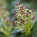 写真: アオキの花