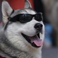 写真: サングラス犬
