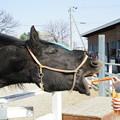 写真: 馬にニンジン