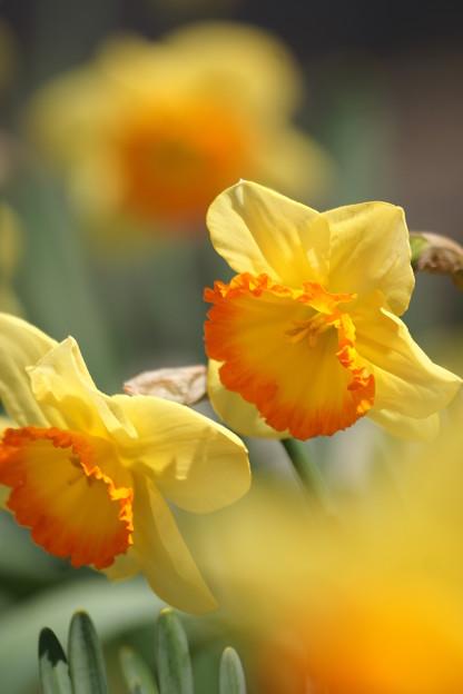 Photos: 黄色い水仙