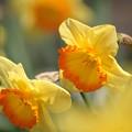 写真: 黄色い水仙