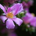 写真: 桜麒麟