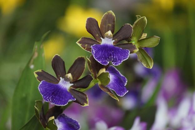 写真: 紫のラン