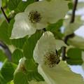 写真: ハンカチの花