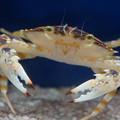 写真: 蟹