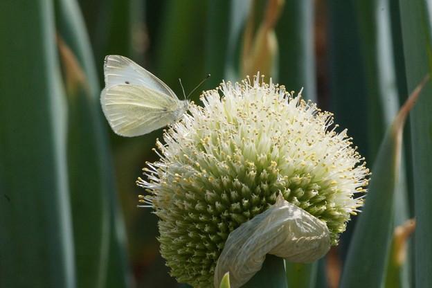ネギ坊主に蝶
