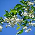 写真: エゴノキの花