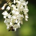 写真: ノダフジとクマバチ