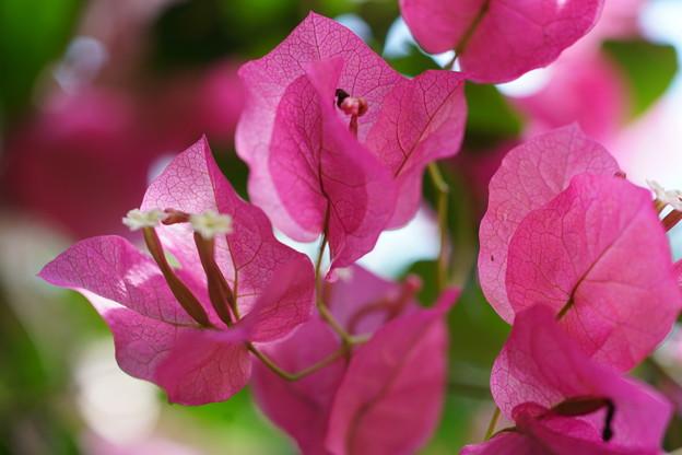 ブーゲンビレアの花
