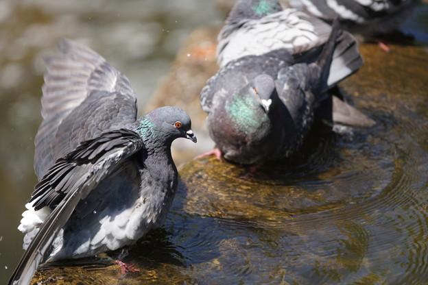 水浴びする鳩