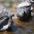 Photos: 水浴びする鳩