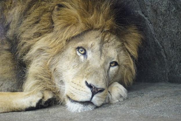 雄のライオン