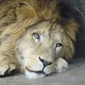 Photos: 雄のライオン