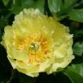 写真: 黄色い芍薬