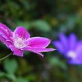 Photos: クレマチスの花